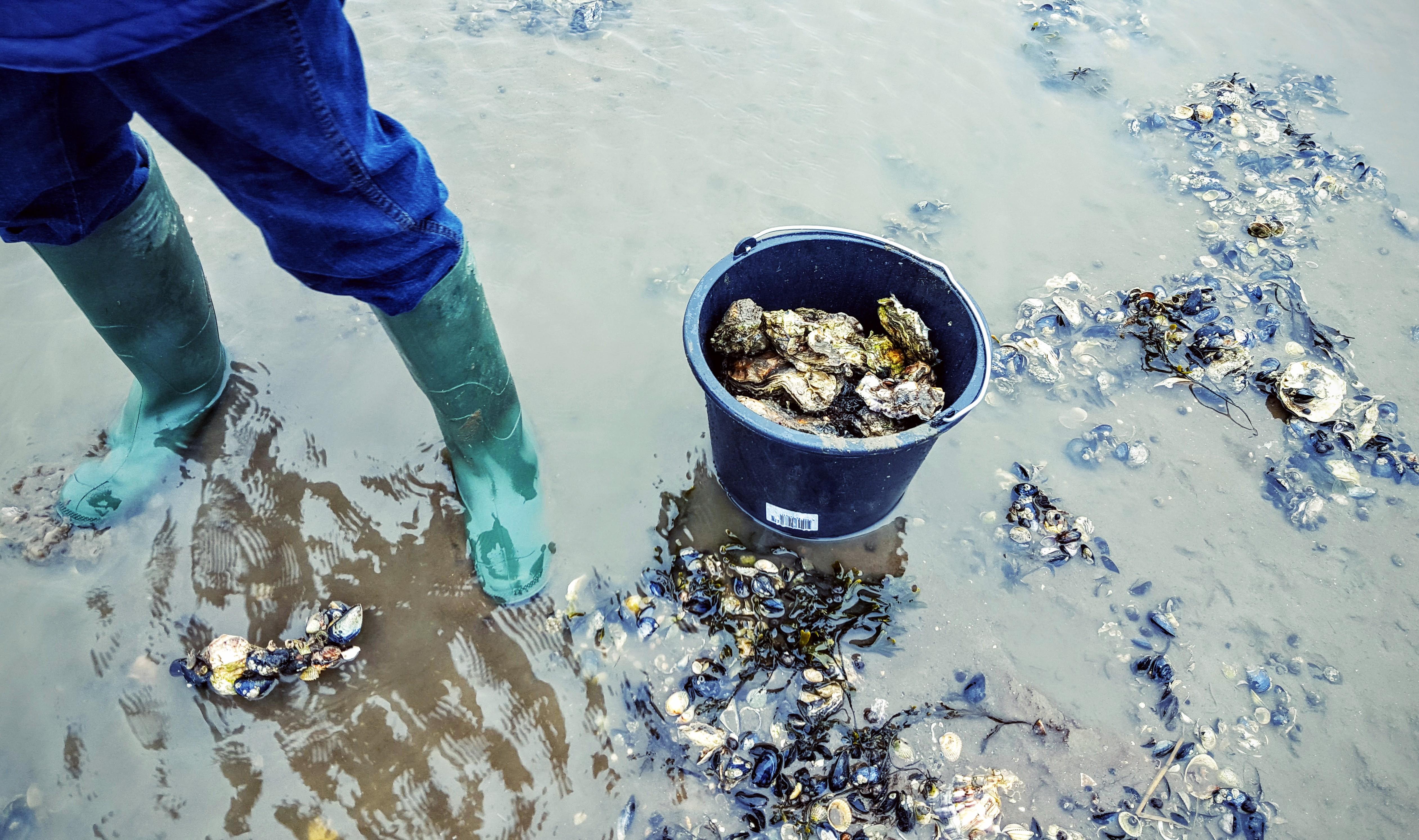 Fanø østers i en spand
