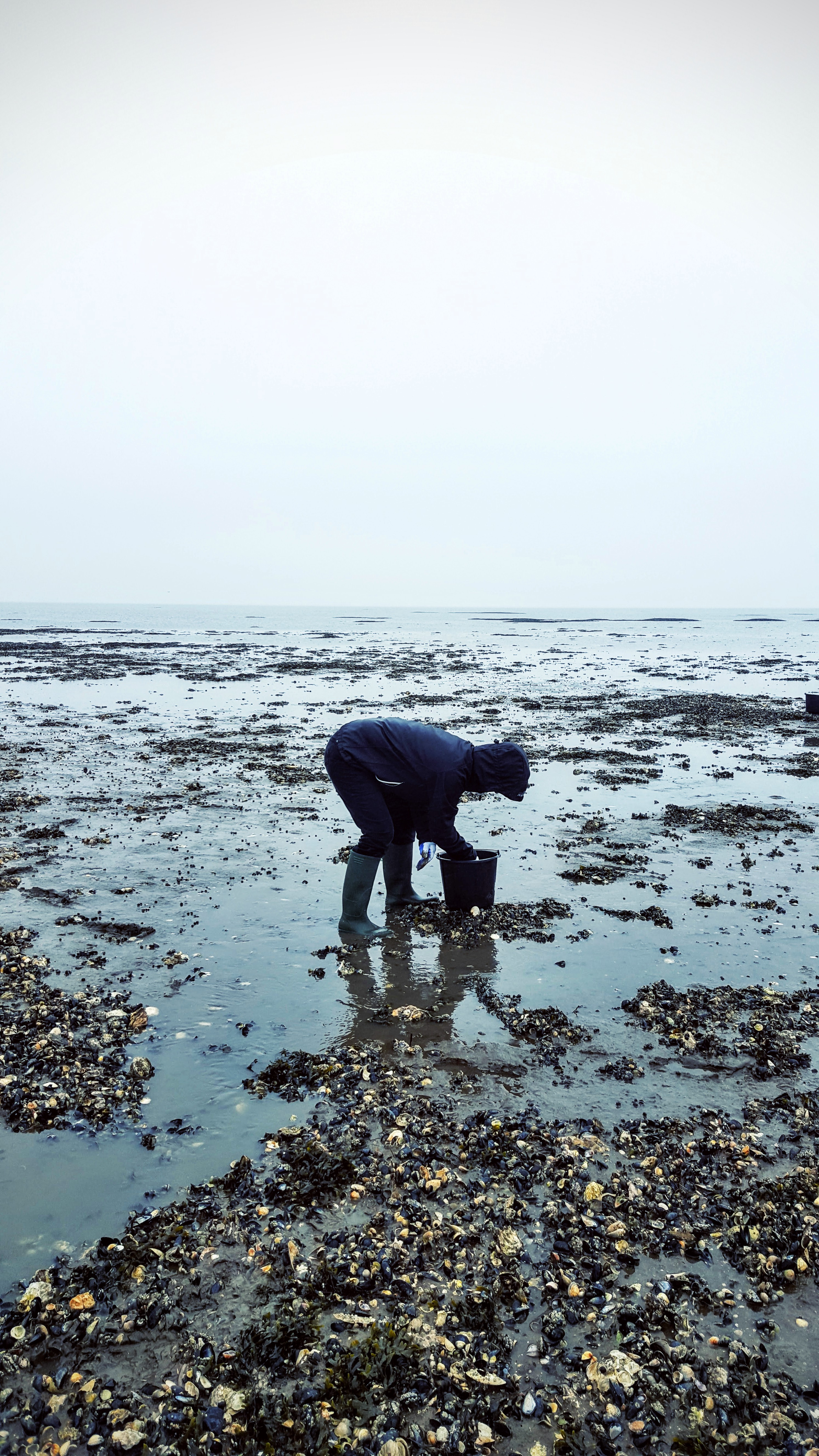 Samler Fanø østers op